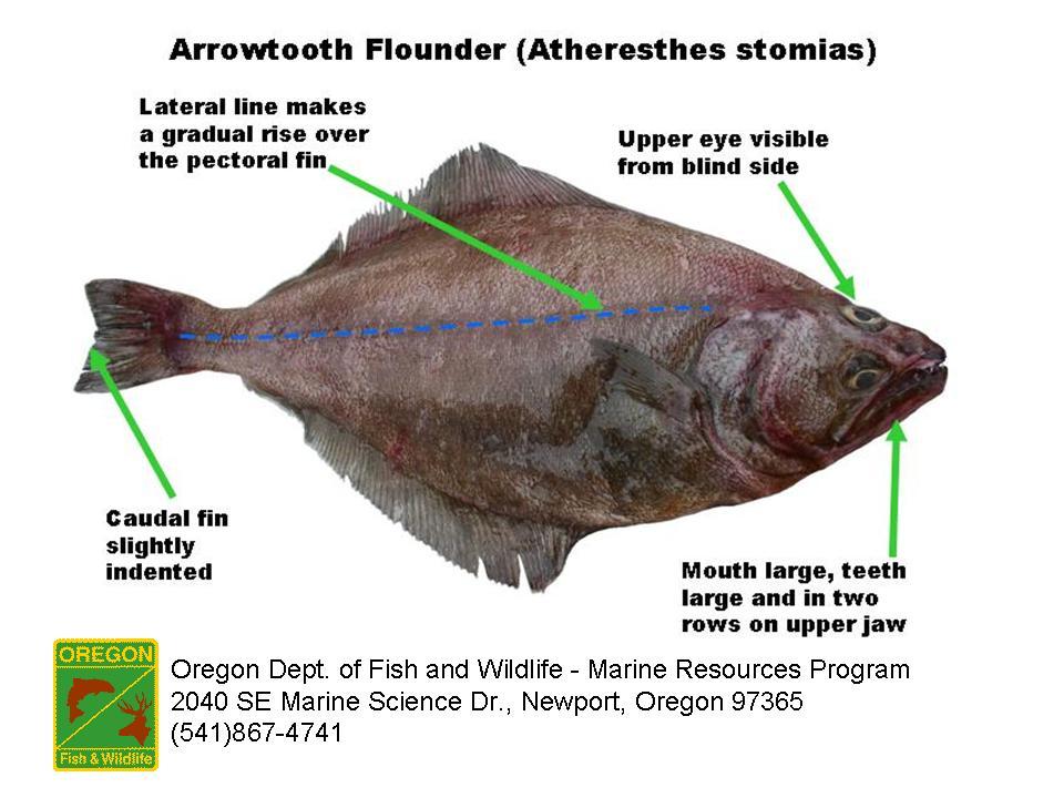 Odfw Finfish Species Flatfish