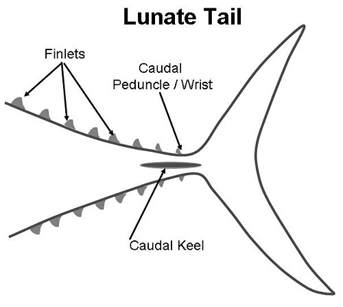 lunate tail, finlets, caudal keel, and caudal peduncle