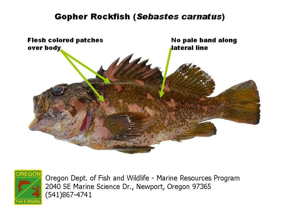 ODFW Marine Sport Fish ID - Rockfish