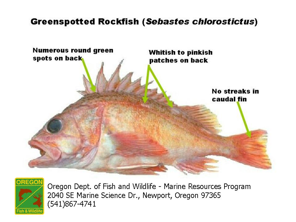 Odfw marine sport fish id rockfish for Types of red fish