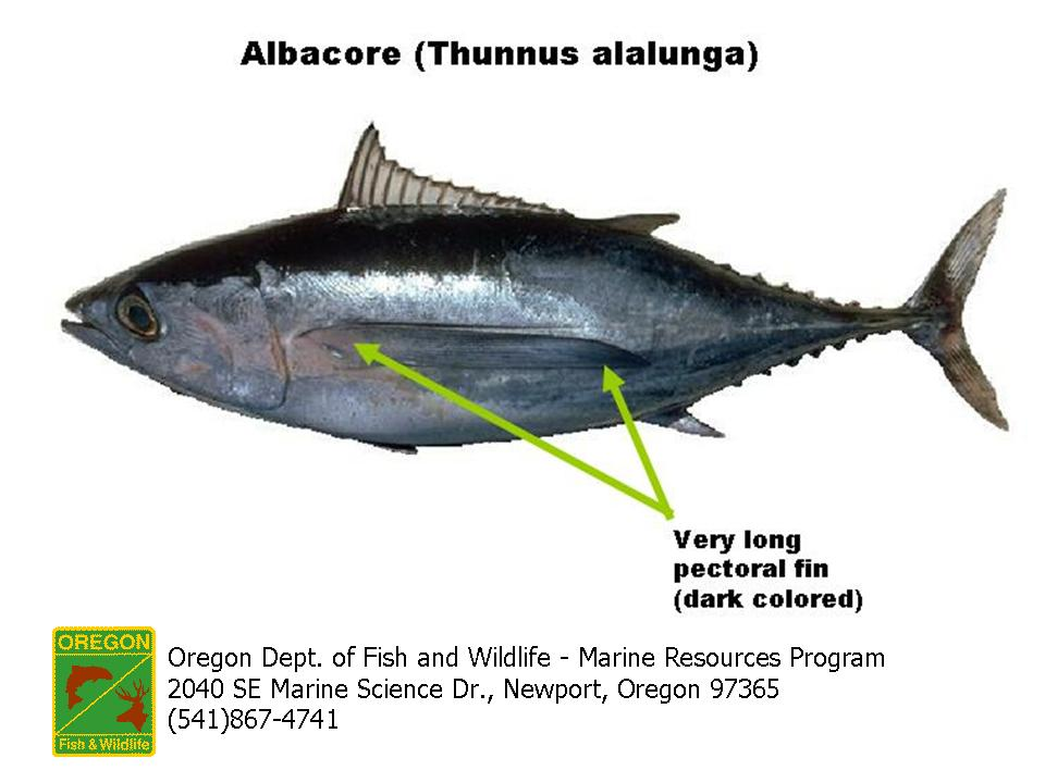 Odfw marine sport fish id tunas and mackerels for List of fish with fins and scales