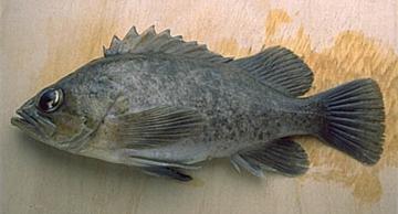 ODFW Finfish Species - Nearshore Rockfish