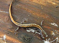 Larch Mountain Salamander
