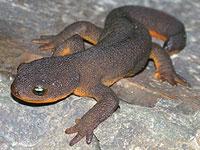 Rough-skin Newt