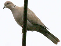 gadEurasian Collared-Dove
