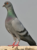 Rock Pigeon adult