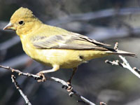 Lesser Goldfinch Male
