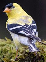 American Golcfinch