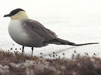 Long-tailed Jaeger