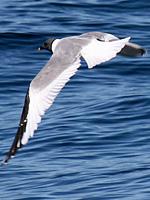 Sabins Gull