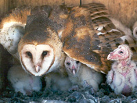 Barn Owl and Chicks