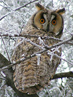 Long-earedOwl