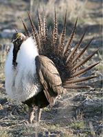 Greater Sage Grouse -Photo by Nick Myatt-