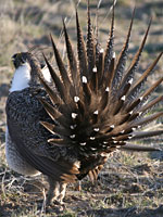 Greater sage grouse, photo taken by Nick Myatt