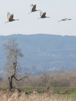 Sandhill Crane at Sauvie Island Wildlife Area