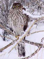 Sharpshinned Hawk