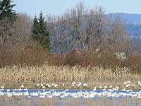 Snow Geese at Sauvie Island