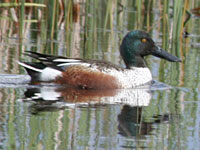 Northern Shoveler Duck