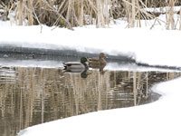 Mallards on a snowy pond.