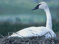 Trumpeter Swan on a nest