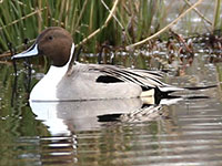 Northern Pintail Drake