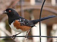 Spotted Towhee at EE Wilson