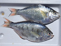 Silver Surf Perch