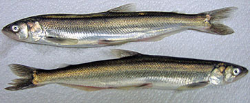 Pacific smelt