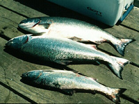 chinook and Coho