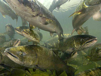 Spring Chinook -Oregon Fish and Wildlife-
