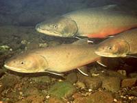Odfw Oregon Wildlife Species Sport Fish