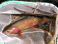 Redband Trout