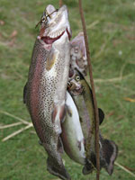 rainbow trout on a stringer