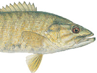 Small-mouth Bass