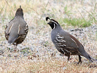 California Quail at EE Wilson