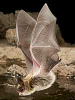 Western long-eared myotis