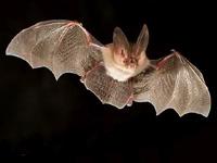 Townsend bat