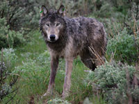 Wolf in northeast Oregon, Oregon Fish and Wildlife