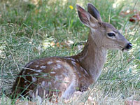Black-tail Fawn