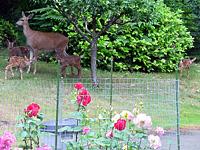 Deer in a back yard