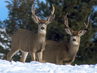 Mule Deer Bucks