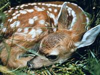 Spotted Mule Deer Fawn