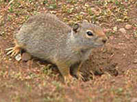 Wyoming Ground Squirrel