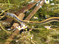 Pacific Coast Aquatic Garter Snake