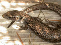 Northern Aligator Lizard