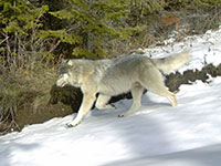 Snake River Pack wolf