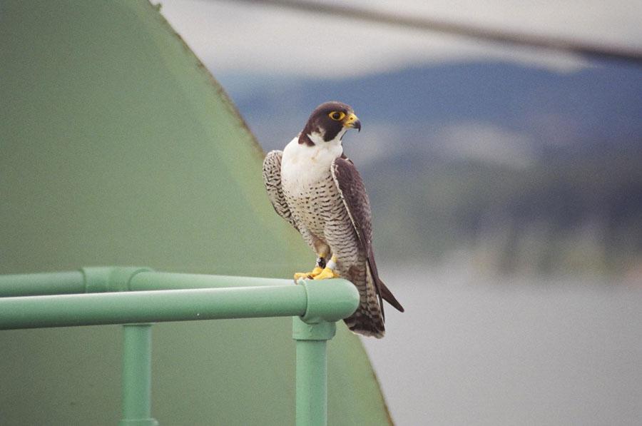 Peregrine Falcon Wallpaper Peregrine Falcons Are Fast