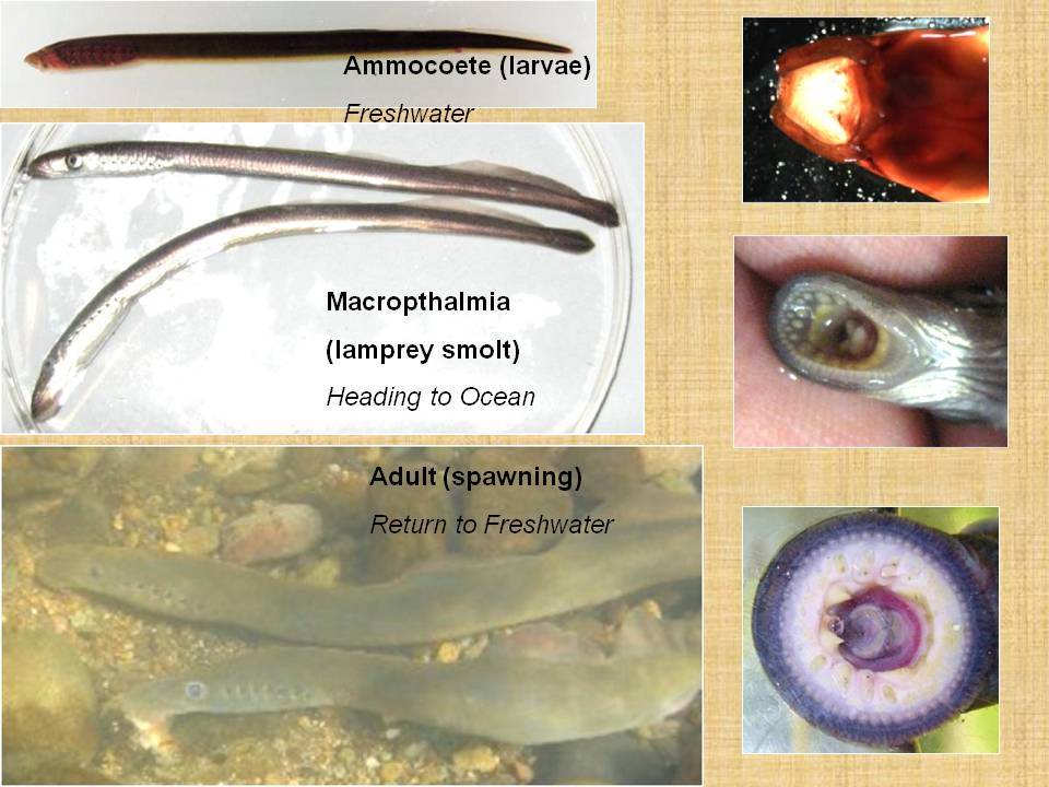 Pacific Lamprey life stages