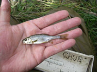 Oregon chub