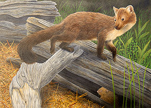 American Marten and Red Tree Vole